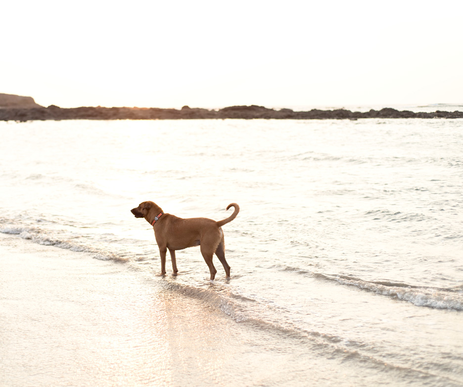 Maverick the Ridgeback mix on the beach in Tamarindo, Costa Rica. Photographed by Kristen M. Brown, Samba to the Sea Photography.