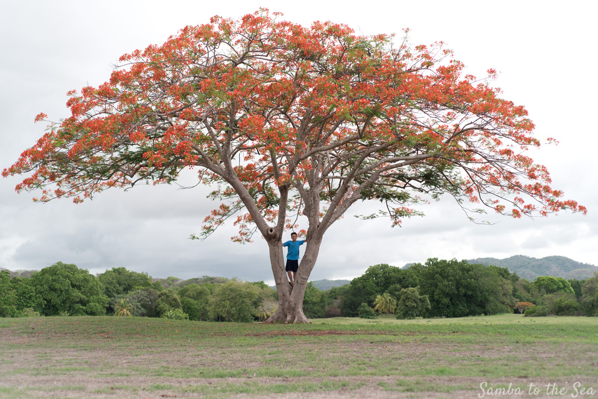 Boy climbing a Malinche tree in full bloom. Photographed by Kristen M. Brown, Samba to the Sea Photography.