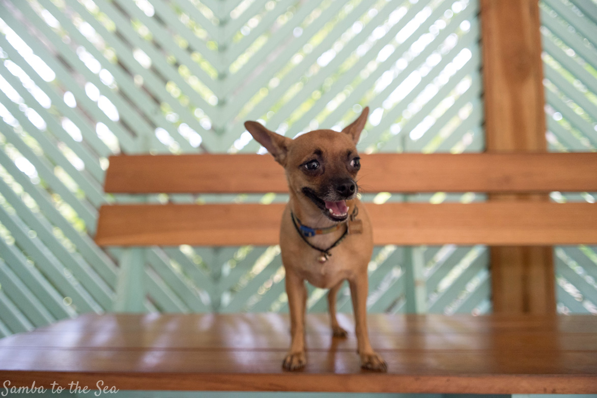 Gidget the Chihuahua posing for the camera at the Harmony Hotel in Playa Guiones, Nosara, Costa Rica. Photographed by Kristen M. Brown, Samba to the Sea Photography.