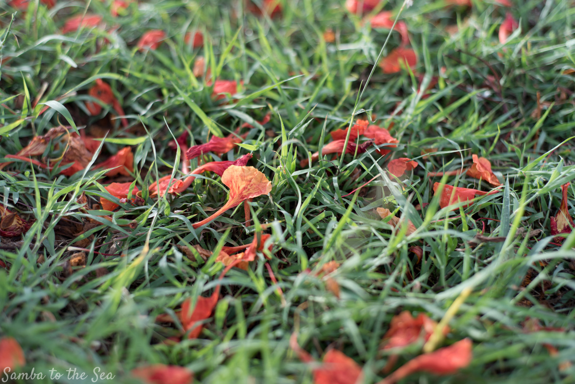 Red Malinche tree petals on the grass in Playa Grande, Costa Rica. Photographed by Kristen M. Brown, Samba to the Sea Photography.