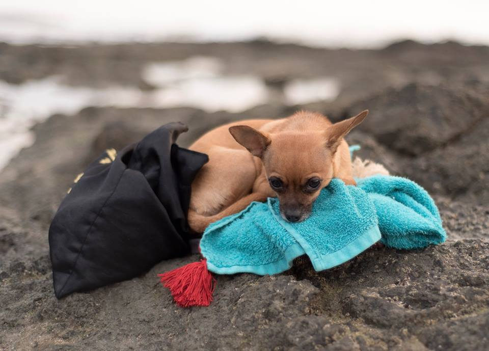 Gidget the Chihuahua on the beach in Tamarindo, Costa Rica. Photographed by Kristen M. Brown, Samba to the Sea Photography.