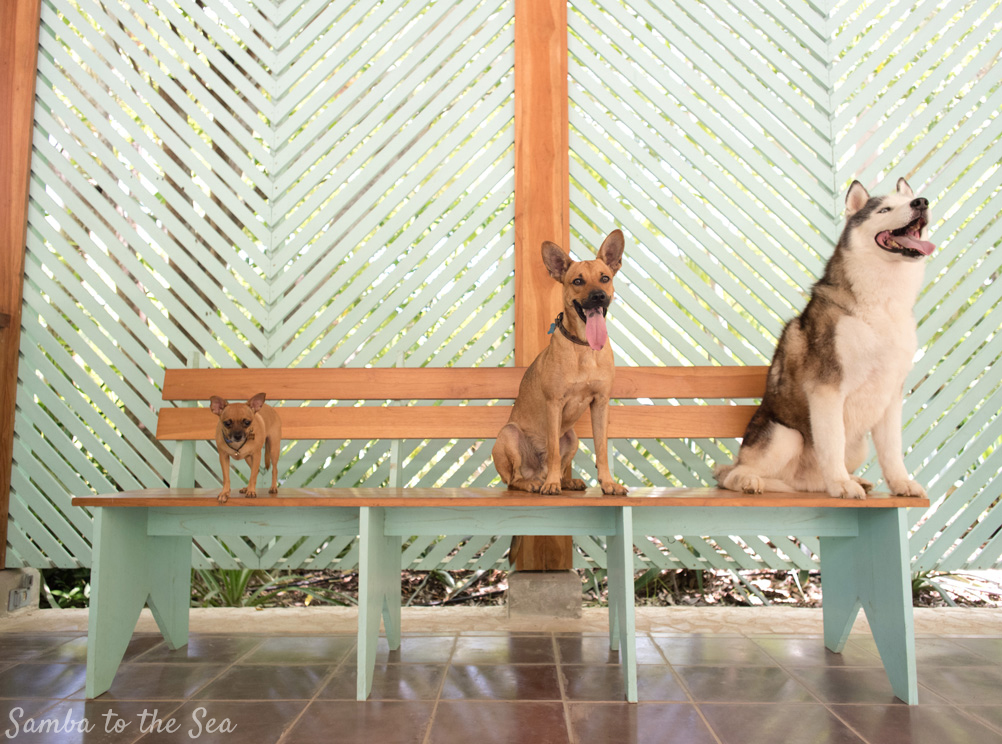 Three dogs (Chihuahua, nut, and Huskie) sitting on a bench in the Harmony Hotel in Playa Guiones, Nosara, Costa Rica. Photographed by Kristen M. Brown, Samba to the Sea Photography.
