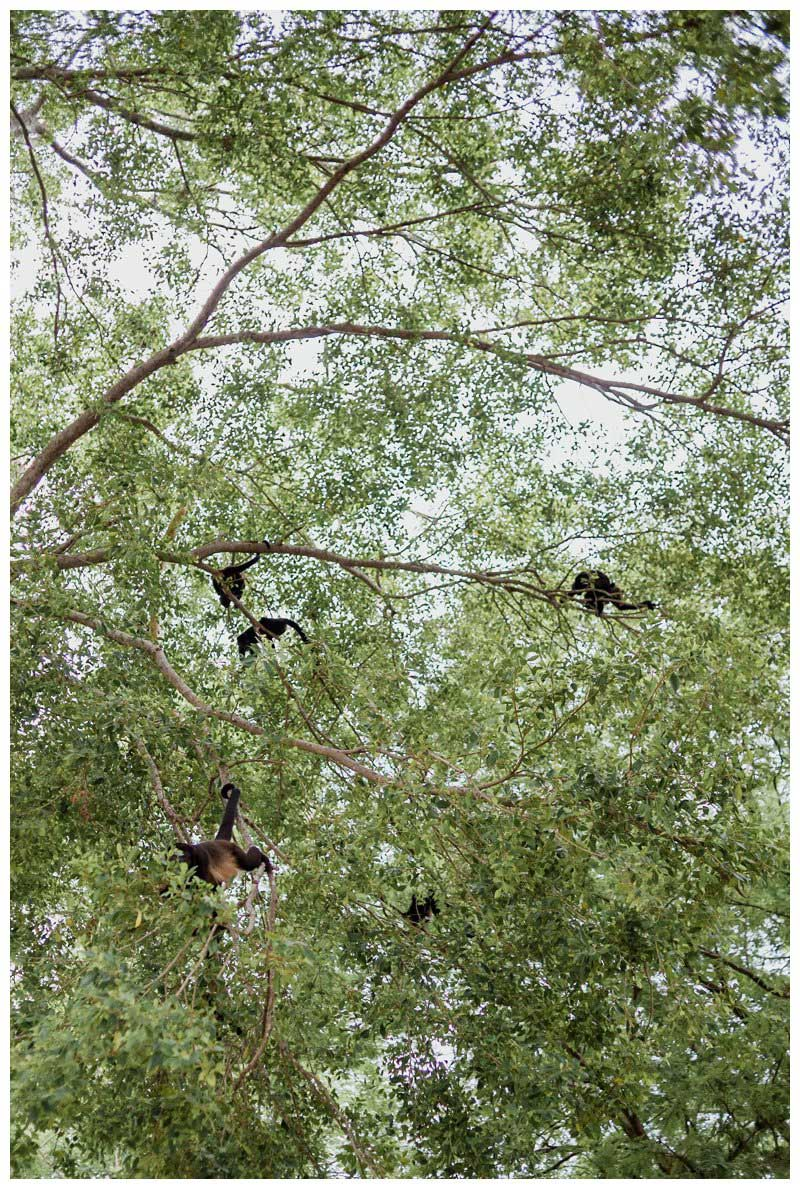 Howler monkeys in the trees during a tropical wedding at Pangas Beach Club in Tamarindo Costa Rica. Photographed by Kristen M. Brown, Samba to the Sea Photography.