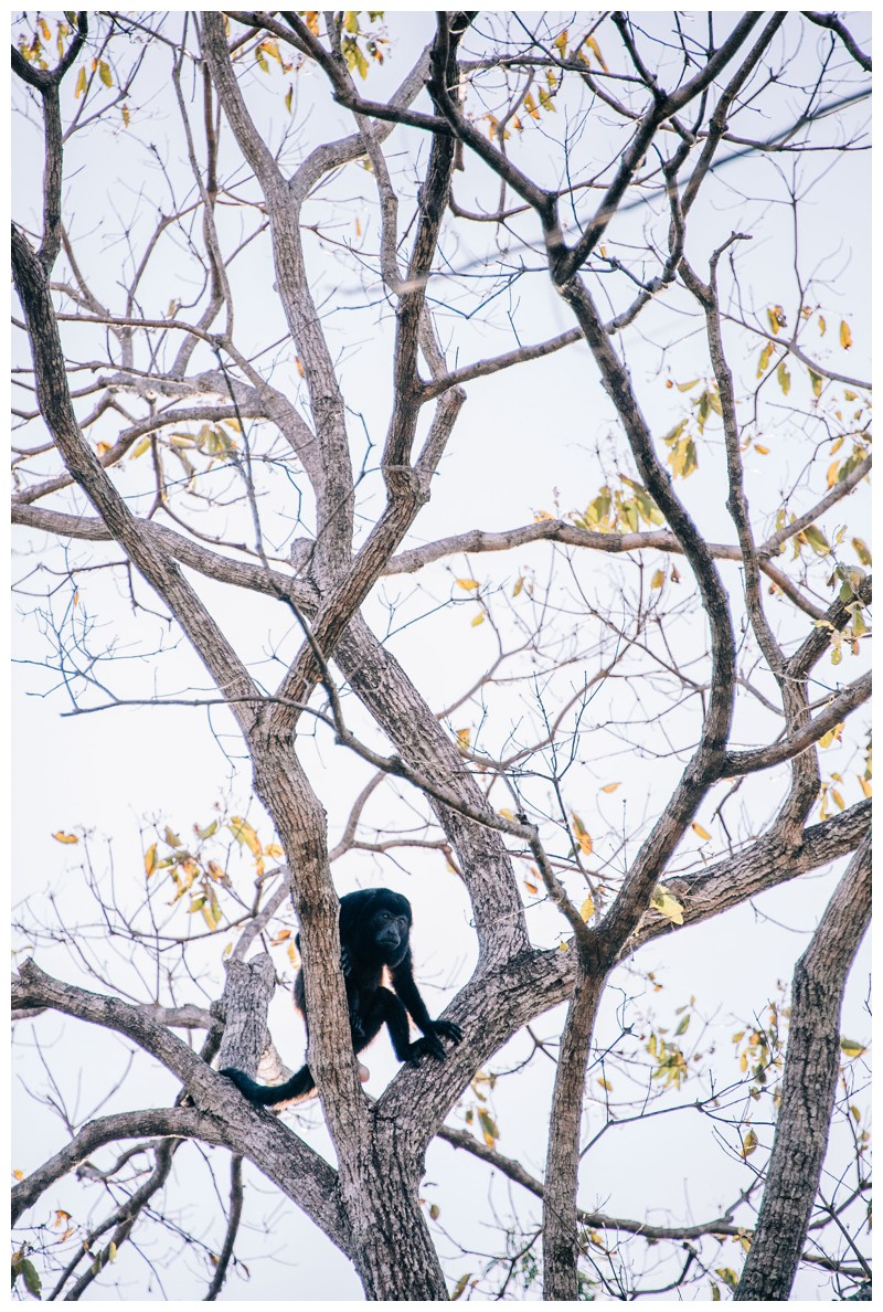 Howler monkey in tree. Wedding at La Senda Labyrinth in Costa Rica. Photographed by Kristen M. Brown, Samba to the Sea Photography.